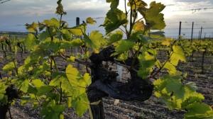 Das Fundament unseres Weinguts: Rebstöcke mit über 40 Jahre