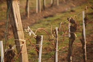 Zweigelt Weinstöcke nach dem Anhängen