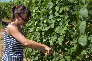 Qualitätsarbeit: das Ausdünnen der Weintrauben