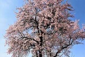 Der Frühling beginnt und in Gols die Mandelblüte